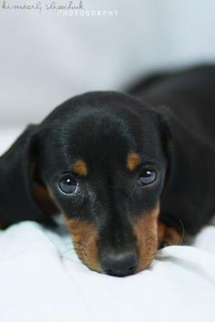 Cute Doxie! by randi