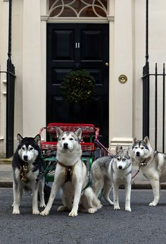 Husky dogs at the Starlight Children's Christmas Party, 11 Downing Street