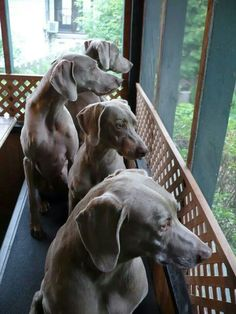 All of them, please! Weims are the Best!.