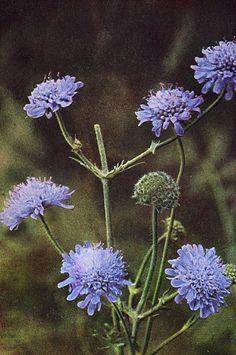 Wildflowers - Field Scabious