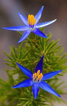 Unusual Flowers, All Flowers, Amazing Flowers, My Flower, Colorful Flowers, Beautiful Flowers, Star Flower, Flower Blossom, Flowers Illustration