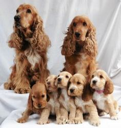 Cocker Spaniel Puppies for Sale, New South Wales - Dogz Online English Cocker Spaniel Puppies, Spaniel Puppies For Sale, Golden Cocker Spaniel, Cute Baby Dogs, Cute Puppies, Dogs And Puppies, Retriever Puppy, Dogs Golden Retriever, Cockerspaniel