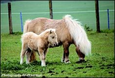 Dunning Shetland Pony and Foal, Scotland
