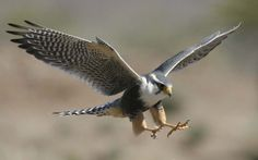 The fastest flier is the Peregrine Falcon, which can dive at speeds in excess of 322kmh/200mph.