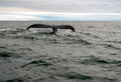 A humpback whale off the coast of West Cork, Ireland Rare Animals, Strange Animals, Humpback Whale, Whale Sharks, Pet Rats, Beautiful Ocean, Killer Whales, Whale Watching, Endangered Species