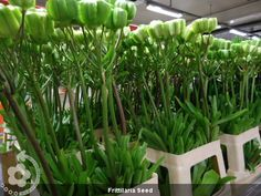 Frittilaria+Seed (600×450)