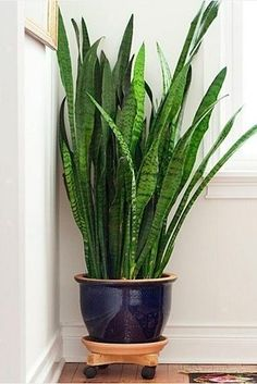 Snake Plant (Sansevieria trifasciata) | 15 Beautiful House Plants That Can Actually Purify Your Home