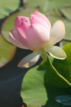 Nelumbo nucifera wikipedia the free encyclopedia lotus nelumbo nucifera wikipedia the free encyclopedia lotus pinterest nelumbo nucifera mightylinksfo