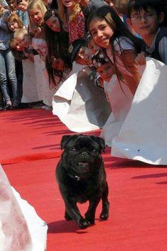 Red Carpet Celebrity Pug