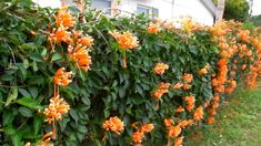 Flame vine to cover chain link fence in front