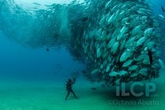 My backyard :) Cabo Pulmo Marine Reserve, and amazing photo and interview with scientist and photographer Octavio Aburto  - mating tornado Jack fish.
