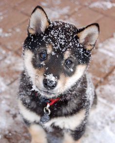 puppy covered in snow :)