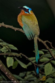 Trinidad Motmot photographed at Cuffie River Lodge in Tobago
