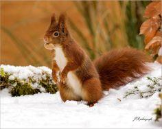 Winter 2017 - Zoogdieren (bever, vos, muis) - Eekhoorn