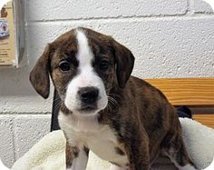 Shelby, MI - American Staffordshire Terrier/Boxer Mix. Meet Love, a puppy for adoption. http://www.adoptapet.com/pet/14902171-shelby-michigan-american-staffordshire-terrier-mix