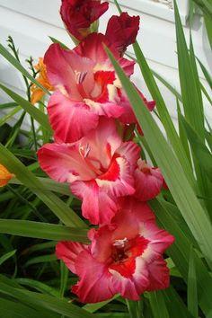 Gladiola  Beautiful Flowers Garden Love