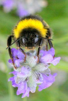🐝ᙖεε🐝ℓღⱴҽ🐝 Bourdon by Ali Bentelkhokh, via Amazing Animals, Animals Beautiful, Cute Animals, Beautiful Bugs, Beautiful Butterflies, Buzzy Bee, I Love Bees, Bees And Wasps, Bee Art