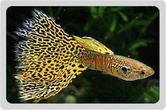 Beautiful specimen of King Cobra Guppy Fish (poecilia reticulata)