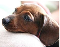 I love Dachshunds..so much expression in such a tiny face.......;-))))