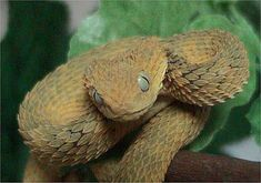 29 Scary Snake Pictures That Prove You Have Ophidiophobia – Land Critters Inland Taipan, Scary Snakes, Sea Snake, Pit Viper, Snake Venom, All About Animals, Reptiles And Amphibians, Black Mamba, Amphibians