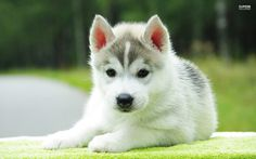 husky puppy wallpaper - Αναζήτηση Google