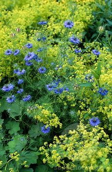 nigella damascena (love-in-a-mist) alchemilla mollis (ladys mantle). bed with combination planting of blue yellow/green flowers / NHPA) - My Cottage Garden Cottage Garden Plants, Blue Garden, Colorful Garden, Shade Garden, Dream Garden, Beautiful Gardens, Beautiful Flowers, Alchemilla Mollis, Garden Borders