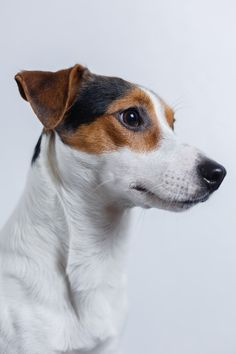 Dog Jack Russell Terrier - Free photo on Pixabay
