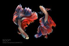 Mascot Double Tail Siamese fighting fish isolated on black background