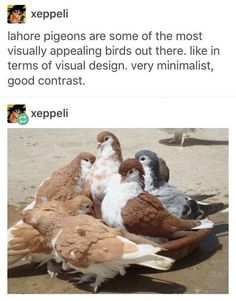 They are the pretty birds! << birbs very floof and reminds me of corgis Cute Funny Animals, Funny Cute, Lahore Pigeon, Animals And Pets, Baby Animals, Animal Original, Pretty Birds, Animal Memes, Animal Humor