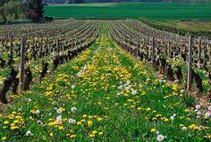 Vineyards of Beaujolais