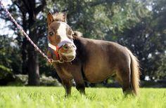 Thumbelina: Visit the World's Smallest Living Horse