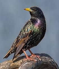 starlings - Google Search