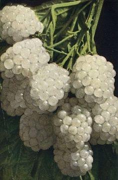 White blackberries Amoras brancas no recreio da escola, árvores trepadas a antecipar a recompensa do doce sumo.