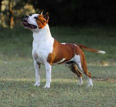 Mimoso - Amstaff Brasil Staff Bull Terrier, Pitbull Terrier, Bull Terriers, American Staffordshire, Staffordshire Terriers, Bred Pit, Bulldog Breeds, American Pitbull, Bully Dog