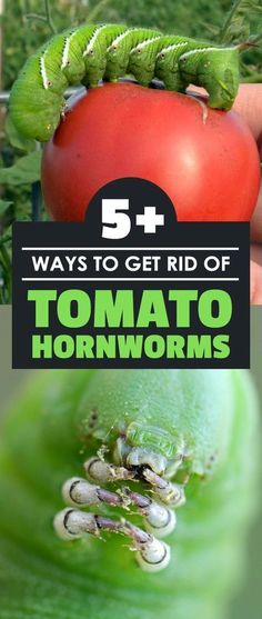 Anyone who's as much a fan of home-grown tomatoes as I am is terrified of this fat green tomato worm, and for good reason. Tomato hornworms can destroy tomato plants in rapid-fire fashion. But there's still hope! With some preparation and careful management, you can get rid of this garden pest and keep it from coming back.