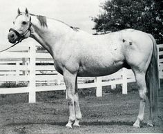 NATIVE DANCER as a mature stallion  - his daughter NATALMA was the dam of NORTHERN DANCER  and a son who looks like daddy - DARN THAT ALARM.