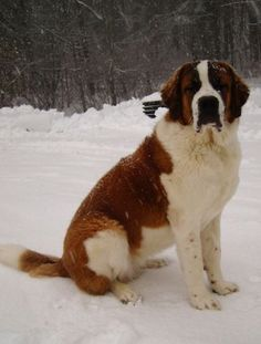 From Switzerland comes the St Bernard dog which is one of the largest dog breeds in the world. This canine can claim to be the epitome of rescue dogs, and it ha Big Dogs, I Love Dogs, Small Dogs, Cute Dogs, Dogs And Puppies, Irish Setter, Australian Shepherds, Animals Beautiful, Cute Animals