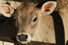 Lil jersey calf , so cute .... can't wait to start raising mine :D !!!!!