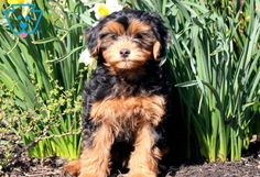 Lavon | Morkiepoo Puppy For Sale | Keystone Puppies  #Morkiepoo #keystonepuppies