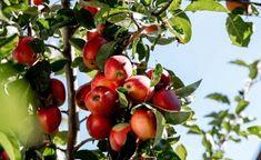 Apfelgugelhupf - Backen mit Christina Apple, Baking, Fruit, Eat, Food, Orange, Zucchini Cake, Carrots, Cooking