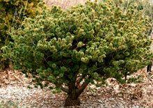 Pinus parviflora ' Adcock's Dwarf ' Japanese White Pine