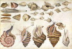 Claude Aubriet (1665-1742) - Album de coquillages et poissons