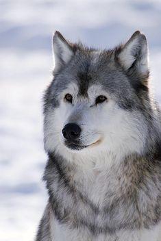 Wolf Winter Portrait
