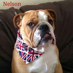 Patriotic British Bulldog Nelson is looking super-cool in his 'Team GB' bandana by Dudiedog Bandanas!