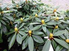 Afbeeldingsresultaat voor rhododendron