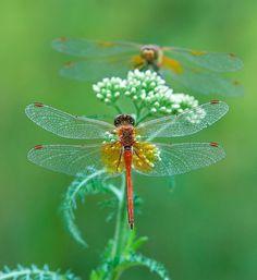 libélulas-em-flor-insetos-libélulas