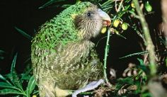 Fun Facts For Kids, Fun Facts About Animals, Animal Facts, Flightless Parrot, Kakapo Parrot, Ugly Animals, Rare Animals, Bird Facts, Blobfish