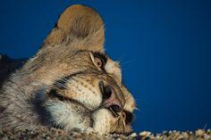 Blue Sky Lion by Rudi Hulshof - Photo 174151243 / 500px