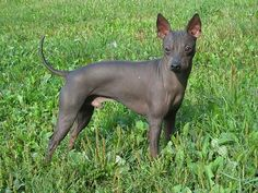 American Rat Terrier phot | American Hairless Terrier dog