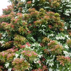 Pieris japonica 'Forest Flame' - Part shade to shade